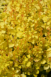 Sunjoy® Mini Saffron Japanese Barberry (Berberis thunbergii 'Kasia') at North Branch Nursery