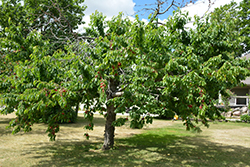 Bing Cherry (Prunus avium 'Bing') at North Branch Nursery