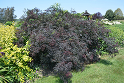 Black Lace® Elder (Sambucus nigra 'Eva') at North Branch Nursery