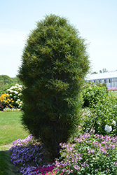 Fine Line® Buckthorn (Rhamnus frangula 'Ron Williams') at North Branch Nursery