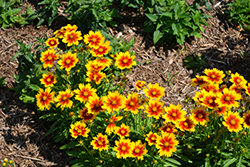 UpTick Gold and Bronze Tickseed (Coreopsis 'Baluptgonz') at North Branch Nursery
