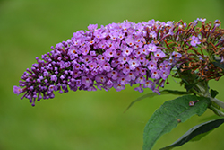 Pugster® Periwinkle Butterfly Bush (Buddleia 'SMNBDO') at North Branch Nursery