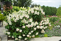 Pinky Winky® Hydrangea (Hydrangea paniculata 'DVPPINKY') at North Branch Nursery