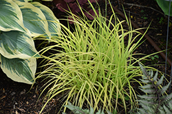 Bowles Golden Sedge (Carex elata 'Bowles Golden') at North Branch Nursery