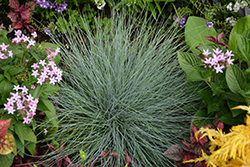 Beyond Blue™ Blue Fescue (Festuca glauca 'Casca11') at North Branch Nursery