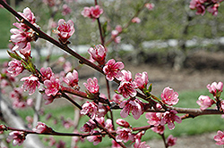 Reliance Peach (Prunus persica 'Reliance') at North Branch Nursery