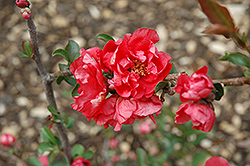 Double Take Pink Storm Flowering Quince (Chaenomeles speciosa 'Double Take Pink Storm') at North Branch Nursery