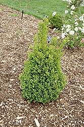 Green Mountain Boxwood (Buxus 'Green Mountain') at North Branch Nursery