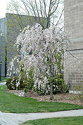 Double Pink Weeping Higan Cherry (Prunus subhirtella 'Pendula Plena Rosea') at North Branch Nursery