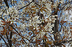 Autumn Brilliance Serviceberry (Amelanchier x grandiflora 'Autumn Brilliance (tree form)') at North Branch Nursery