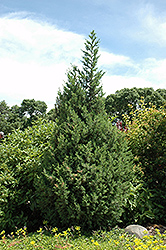 Star Power Juniper (Juniperus 'J.N. Select Blue') at North Branch Nursery