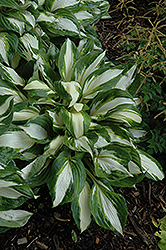Vulcan Hosta (Hosta 'Vulcan') at North Branch Nursery