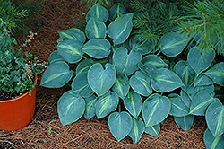 Touch Of Class Hosta (Hosta 'Touch Of Class') at North Branch Nursery