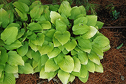 Fire Island Hosta (Hosta 'Fire Island') at North Branch Nursery