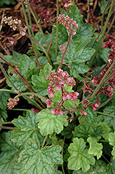 Berry Timeless Coral Bells (Heuchera 'Berry Timeless') at North Branch Nursery