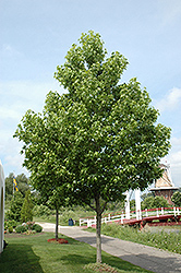 Moraine Sweet Gum (Liquidambar styraciflua 'Moraine') at North Branch Nursery