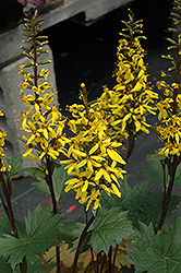 Little Rocket Rayflower (Ligularia 'Little Rocket') at North Branch Nursery