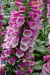Dalmatian Purple Foxglove (Digitalis purpurea 'Dalmatian Purple') at North Branch Nursery