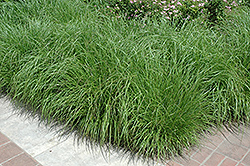 Fountain Grass (Pennisetum alopecuroides) at North Branch Nursery