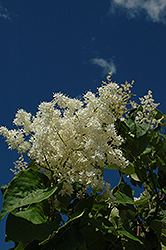 Ivory Pillar Japanese Tree Lilac (Syringa reticulata 'Willamette') at North Branch Nursery