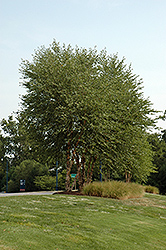Heritage River Birch (clump) (Betula nigra 'Heritage (clump)') at North Branch Nursery
