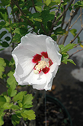 Red Heart Rose Of Sharon (Hibiscus syriacus 'Red Heart') at North Branch Nursery