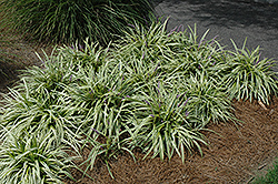 Variegata Lily Turf (Liriope muscari 'Variegata') at North Branch Nursery