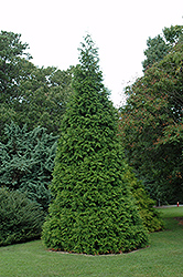 Green Giant Arborvitae (Thuja 'Green Giant') at North Branch Nursery