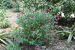 Miss Ruby Butterfly Bush (Buddleia davidii 'Miss Ruby') at North Branch Nursery