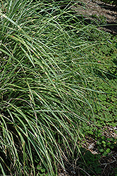 Little Zebra Dwarf Maiden Grass (Miscanthus sinensis 'Little Zebra') at North Branch Nursery