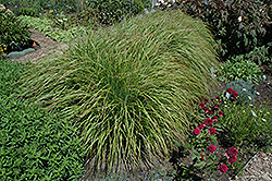 Desert Plains Fountain Grass (Pennisetum alopecuroides 'Desert Plains') at North Branch Nursery