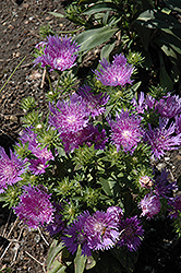 Peachie's Pick Stoke's Aster (Stokesia laevis 'Peachie's Pick') at North Branch Nursery