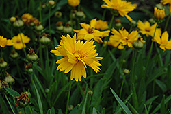 Sun Up Tickseed (Coreopsis grandiflora 'Sun Up') at North Branch Nursery