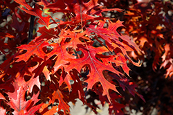 Majestic Skies™ Northern Pin Oak (Quercus ellipsoidalis 'Bailskies') at North Branch Nursery