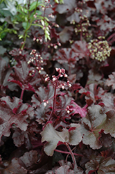 Melting Fire Coral Bells (Heuchera 'Melting Fire') at North Branch Nursery