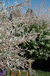 Tricolor Willow (tree form) (Salix integra 'Hakuro Nishiki (tree form)') at North Branch Nursery