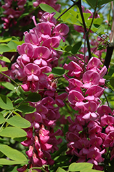 Purple Robe Locust (Robinia pseudoacacia 'Purple Robe') at North Branch Nursery