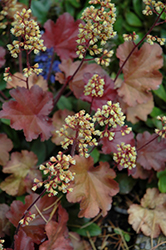 Blondie Coral Bells (Heuchera 'Blondie') at North Branch Nursery