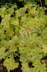 Solar Power Foamy Bells (Heucherella 'Solar Power') at North Branch Nursery