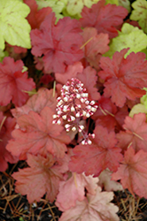 Fire Alarm Coral Bells (Heuchera 'Fire Alarm') at North Branch Nursery