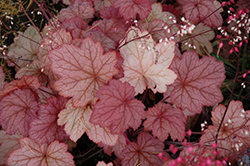 Georgia Peach Coral Bells (Heuchera 'Georgia Peach') at North Branch Nursery