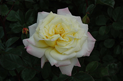 Music Box Rose (Rosa 'BAIbox') at North Branch Nursery