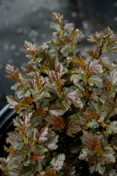 Tiny Wine® Ninebark (Physocarpus opulifolius 'SMPOTW') at North Branch Nursery