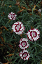 Raspberry Swirl Pinks (Dianthus 'Devon Siskin') at North Branch Nursery
