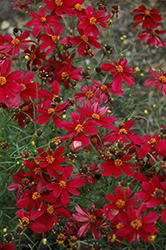 Red Satin Tickseed (Coreopsis 'Red Satin') at North Branch Nursery