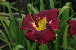 Bela Lugosi Daylily (Hemerocallis 'Bela Lugosi') at North Branch Nursery