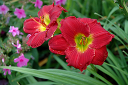 Red Hot Returns Daylily (Hemerocallis 'Red Hot Returns') at North Branch Nursery