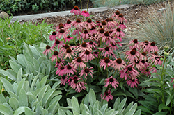 Purple Emperor Coneflower (Echinacea purpurea 'Purple Emperor') at North Branch Nursery