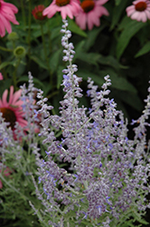 Denim 'n Lace Russian Sage (Perovskia atriplicifolia 'Denim 'n Lace') at North Branch Nursery