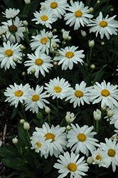 Whoops-A-Daisy Shasta Daisy (Leucanthemum x superbum 'Whoops-A-Daisy') at North Branch Nursery